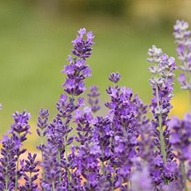 YL Lavender Fields